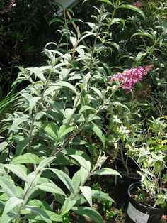 Butterfly Bush great in a spot where you can let it go a wild. The 'Buzz' varieties work for more compact spaces.