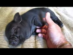 What's Cuter Than a Piglet? A Piglet Getting It's Belly Rubbed, Of Course! Pet Pigs, Baby Pigs, Micro Piglets, Teacup Pigs, Mini Pigs, Mundo Animal, Little Pigs, Cute Baby Animals, Animals Beautiful