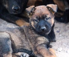 www.elitek-9.com/   #malinois #malinoisofinstagram #maligator #executiveprotectiondogs #exotics Executive Protection, Malinois, Working Dogs, Dog Training, Husky, Puppies, Animals, Cubs, Animales