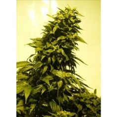 Automatic AK Feminised Seeds - Seedsman's Automatic AK feminised seed is a robust strain which grows like a typical automatic variety, developing a giant main cola and side branches which are covered in in compact buds that give off a strong citrus fruity aroma.  Read more: http://www.cannabis-seeds-store.co.uk/feminised-seeds/seedsman/automatic-ak-feminised-seeds/prod_56.html