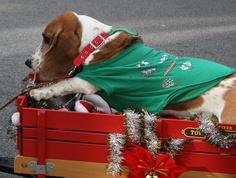 Charleston Christmas Parade: Basset Hound Waddle by skyliner72, via Flickr