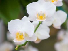 'Timothy Christopher' is a miniature Phalaenopsis variety that produces tiny white flowers with yellow centers.
