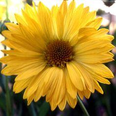 GAILLARDIA 'Aurea Pura'  (Gaillarde) : Longue floraison éclatante, tout l'été. Peu exigeantes, elles préfèrent les sols poreux et supportent la sécheresse. Grandes fleurs jaune pur.