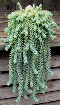 Names Of Succulent Plants | Sedum morganianum (Donkey Tail, Burro's Tail) - photography by ...