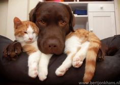 adorable lab and kitten