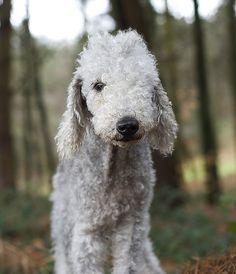 Eric the Bedlington Terrier <3