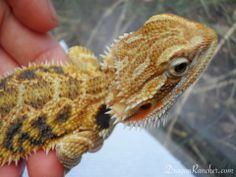 Bearded Dragon for Sale