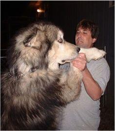 Giant Alaskan Malamute...WOW!