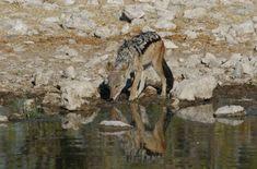 Black Backed Jackal, Uk Trip, Back To Black, Wildlife Photography, Safari, National Parks, September, Travel, Animals