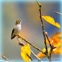 Juvenile Anna's Hummingbird on duty.
