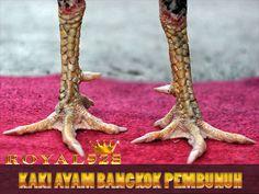 kaki ayam bangkok pembunuh Octopus, Bangkok, Animals, Roosters, Animales, Animaux, Animal, Calamari, Animais