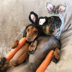 Miniature dachshunds wearing easter hats