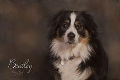 Pet portraits. Bentley, mini Aussie, CPP Certified Professional Photographer. Www.pennyclarkphoto.com Mini Aussie, Pet Photography, Professional Photographer, Pet Portraits, Jackson, Pets, Animals And Pets, Teacup Australian Shepherd, Jackson Family
