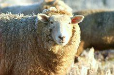 Sheep Art Sepia Lamb Farm Ranch Animal Herd by GrayWolfGallery Alpacas, Ranch, All Things Wild, Sheep Art, Timing Is Everything, Fiber Art, Lamb, Folk Art, This Is Us
