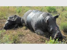Rhino family found butchered and dehorned, including calf.  http://citizen.co.za/391211/rhino-family-found-butchered-and-dehorned/ …  @rickygervais