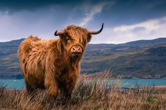 Cattle of Europe: the Highland Cow of Scotland Scottish Highland Cow, Highland Cattle, Scottish Highlands, Highland Cow Art, Farm Animals, Cute Animals, Fluffy Cows, Dairy Cattle, Cute Cows