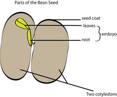 Today let's learn about seeds. Seeds are the way certain plants reproduce.) and angiosperms (flowering plants) produce seeds. A seed consists of a p… Hands On Activities, Science Activities, What Is A Seed, Plant Science, Science News, Seeds, Gardening, Games, Children