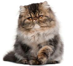 The Persian Cat - Cat Breeds Encyclopedia