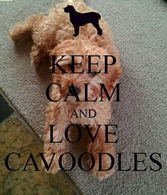 keep calm and love cavoodles