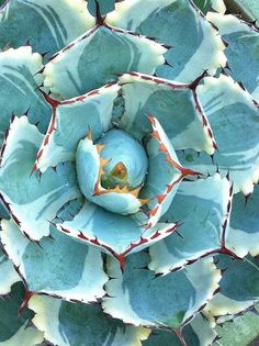 succulent. by Virgo77