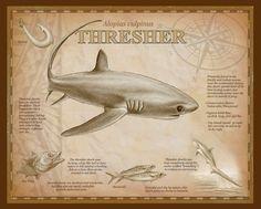 Species Of Sharks, Fish, Poster, Animales, Pisces, Billboard