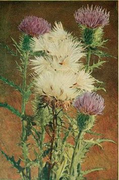 Thistles (national flower of Scotland)