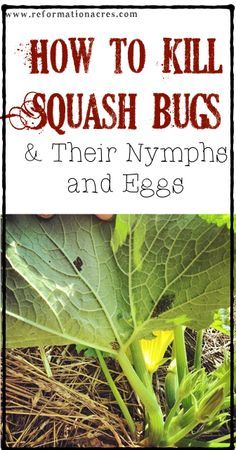 ~How To Kill Squash Bugs, Squash Bug Eggs, and Nymphs~ excellent tips!