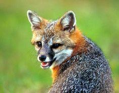 http://naturalunseenhazards.files.wordpress.com/2011/05/gray-fox54216.jpg