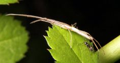 Long-jawed Orb Weaver (Tetragnathidae)