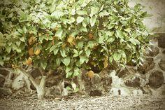 Lemon Tree - Regusci Vineyards, Napa