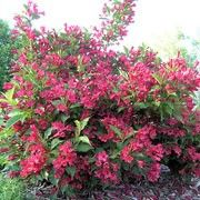 Weigela 'Red Prince' (Weigela 'Red Prince') Click image to learn more, add to your lists and get care advice reminders  each month.