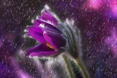 Purple rain Art Print by okopipidesign Purple Daisy, Purple Flowers, Flowers Nature, Floral Flowers, Lilac, Daisy Wallpaper, Outdoor Training, Rain Wallpapers, Gothic Garden