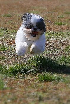 Happiness Is... a Shih Tzu running - like my Lettie :) I love happy dog face! Make me so happy :)