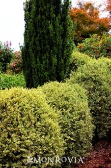 Variegated English Boxwood Buxus sempervirens 'Variegata' USDA Hardiness Zone: 5 - 9  Small dark green leaves are bordered by an ...