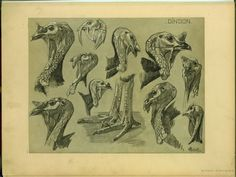 Dindon - ID: 102283 - NYPL Digital Gallery