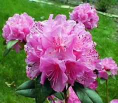 Olga Mezzitt small leaf rhododendron...positively glows in shade