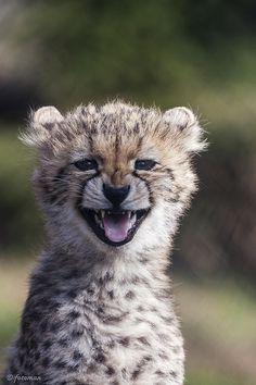 Funny Wildlife, funnywildlife: cheetah-chaser: Cheetah Cub ...