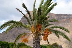 Care sunt plantele menționate în Biblie (7) – Curmalul sau finicul Spirituality, Bible, Plant, Spiritual