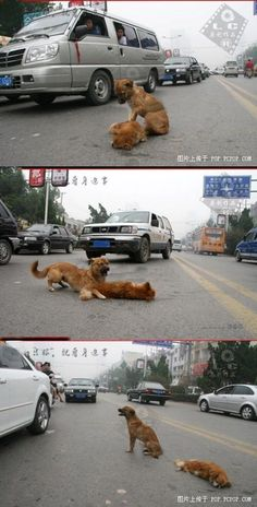 A dog in the middle of a street, tries to awaken his dead friend, who had been hit by a car. The dog would bark and growl at anyone trying to get close, and he would not leave his friend. Some animals are more compassionate and loyal than humans. FOREVER REBLOG.. This tore my heart to shreds… :(