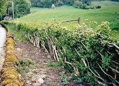 Hedge laying...how we use to fence a field.