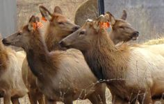 Five elk recently transferred to Wisconsin from Kentucky as part of a reintroduction effort died in mid-April due to a tick-borne disease. Cow Elk, Deer Ticks, Tick Bite, Lyme Disease, Blood Cells, Natural Resources, Spirit Animal, Wisconsin, Kentucky