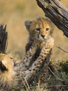 Cheetah (Acinonyx Jubatus) Six to Eight Week Old Cubs Playing, Maasai Mara Reserve, Kenya