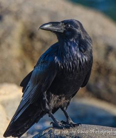 Your Daily Raven Via Wendy Davis Photography Fb Corbeau Grand