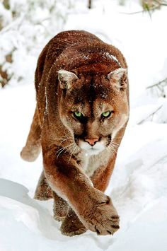 """Photography by (Dave). Mountain Lion in Northern Minnesota… geographicwild: """" . Photography by (Dave). Mountain Lion in Northern Minnesota """" - Monde Des Animaux Big Cats, Cool Cats, Cats And Kittens, Beautiful Cats, Animals Beautiful, Beautiful Pictures, Animals And Pets, Cute Animals, Wild Animals"""