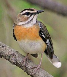 Bearded Scrub Robin. Old World flycatcher. Africa