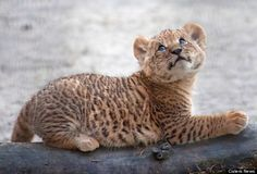 Liliger = Offspring of a male Lion and a female Liger