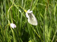 This Green veined White is taking a rest on this Cuckoo Flower.  Thanks again to Simon Barker for this picture taken whilst at Attingham Park 06 May 2014