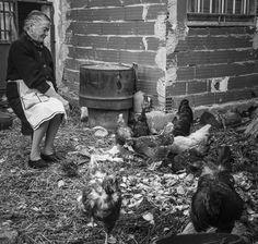 La tía Pilar, da de comer a sus gallinas, les da las sobras de la comida, salvado y un poco de maíz molido, a cambio recibe huevos y la carne cuando toca sacrificar. Los huevos los he probado y la verdad es que se nota. Fritos con un buen aceite de oliva y un poco de trufa que ahora es la temporada me los comí.