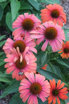 "Echinacea 'Julia' Perennial. Glowing Deep Tangerine-Pumpkin Orange, Deep copper cone. As ages, center fade to beautiful purple as in pic. Edges lighten golden orange. Z 5a-9b. Ht 15"" x 18"" W 18-24in. Blooms Early sum-Fall. 4in blooms."