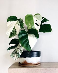 Houseplants for Better Sleep Variegated Monstera Harrison_Plants House Plants Decor, Plant Decor, Garden Plants, Plant Wall, Tropical House Plants, Pot Plants, Vine House Plants, Ti Plant, Nature Plants